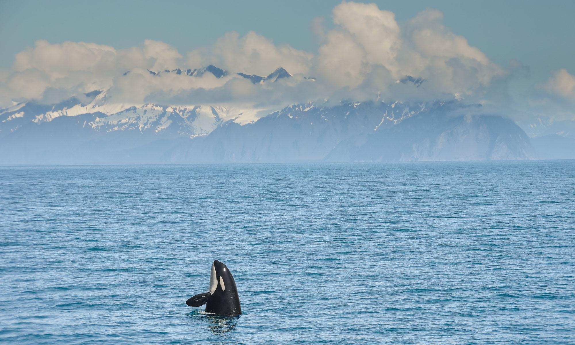alaska-orca-wasser.d6fzfuui.jpg